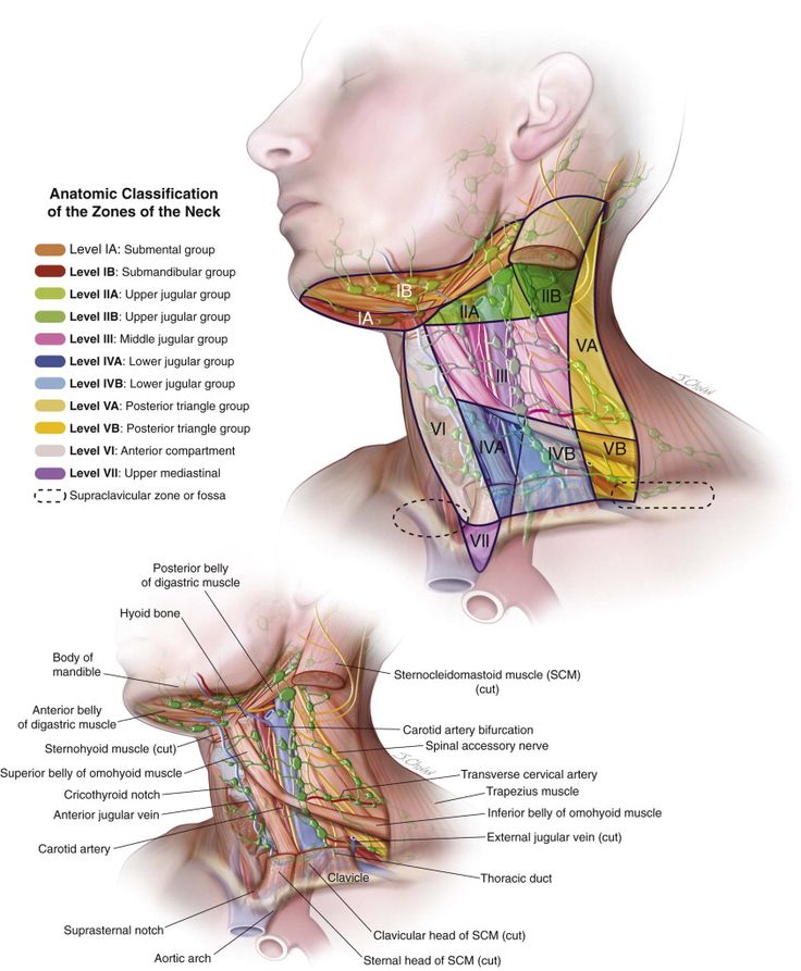 The 7 best Throat Anatomy images on Pinterest | Anatomy, Body works ...