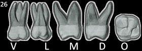 Numeração da dentição permanente    Dentição decídua      Principais características dos dentes permanentes:    Incisivos centrais superiore...