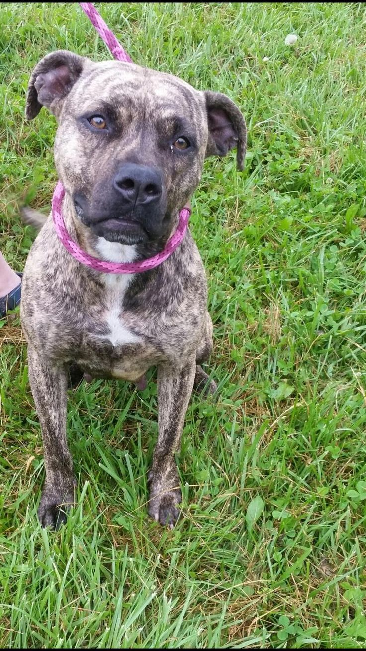 Meet Marie, an adoptable Mastiff looking for a forever home. If you're looking for a new pet to adopt or want information on how to get involved with adoptable pets, Petfinder.com is a great resource.