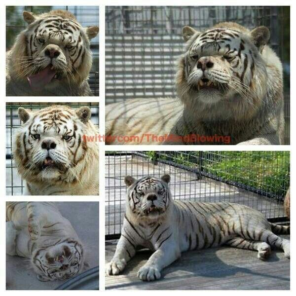 Kenny, a tiger with Down Syndrome | Inspiration | Pinterest