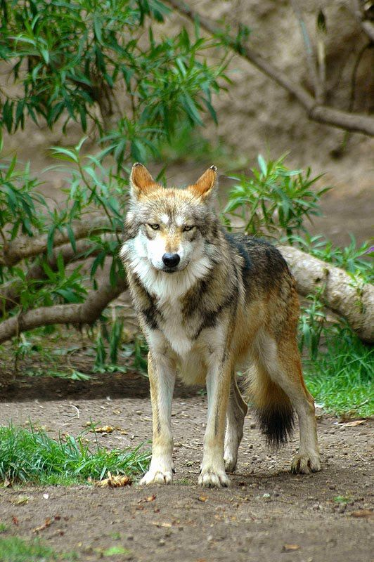 Source Mexican wolf (Canis lupus baileyi).