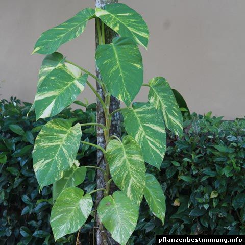 Epipremnum pinnatum `Variegata´