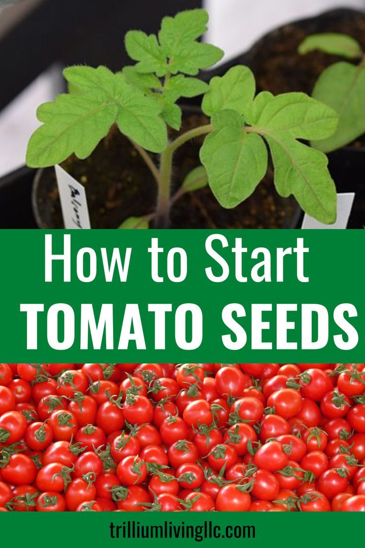 Growing Tomatoes From Seeds A Part Of My Dna Organic Vegetable