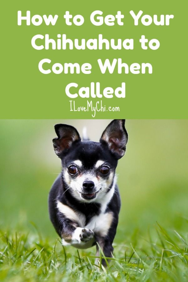 How To Get Your Chihuahua To Come When Called Chihuahua