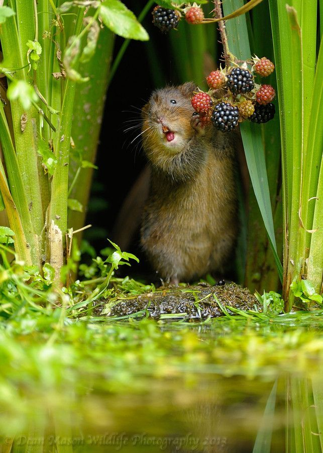Berry nice: A vole enjoys some seasonal berries it found outside its hole on the edge of a forest pond in Kent.