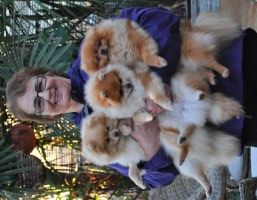 Pomeranians & Watery Eyes – Pomeranian Dog Expert Information Authority Site