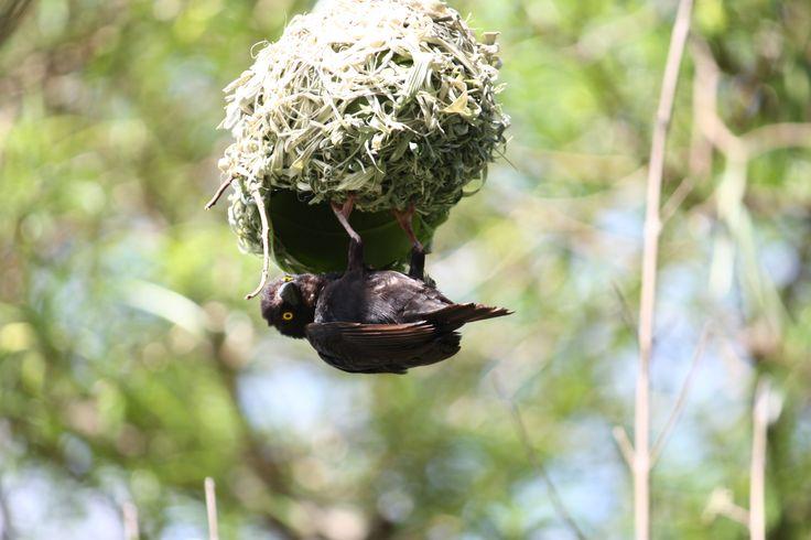 A sweet little bird at his nest in Merchison Falls National Park, Uganda. #bird #birds #nature #adventure #capimping #naturelovers #wildlife #traveller #travellers #safari #africa #uganda