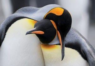 Un couple de manchots empereurs - croisière en Antarctique