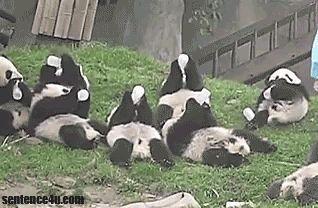Cute Panda GIFs Lunch time for giant pandas.   Lunch time for giant pandas.