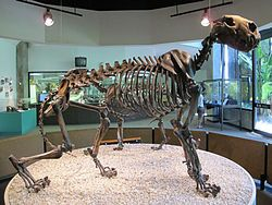 The American lion (Panthera leo atrox or P. atrox) — also known as the North American lion, Naegele's giant jaguar or American cave lion — is an extinct lion of the family Felidae, endemic to North America and northwestern South America during the Pleistocene epoch (0.34 mya to 11,000 years ago), existing for approximately 0.33 million years.[1] It has been shown by genetic analysis to be a sister lineage to the Eurasian cave lion (Panthera leo spelaea or P. spelaea).[2]@Wikipedia.org