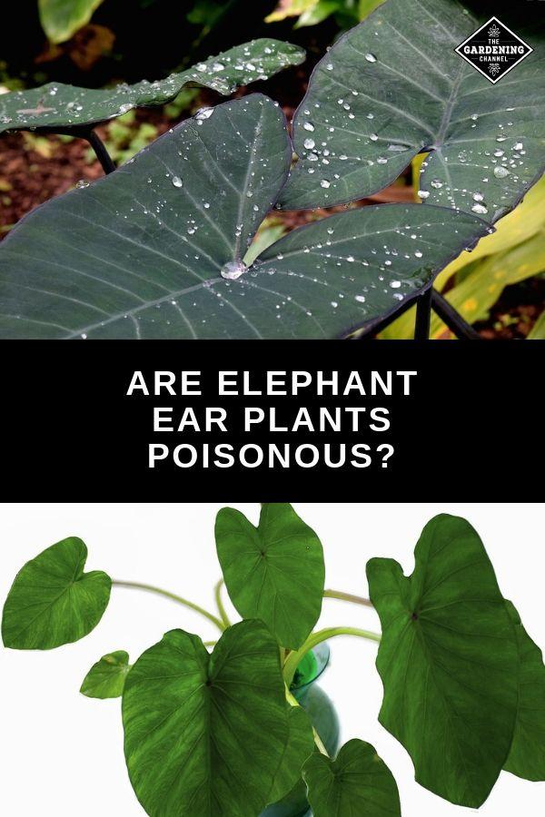 Are Elephant Ear Plants Poisonous Elephant Ear Plant Elephant