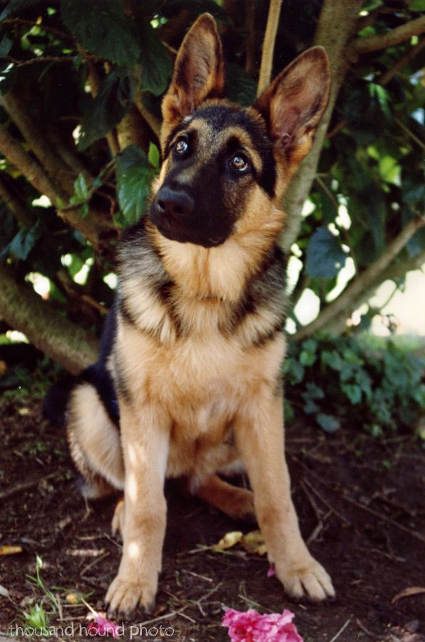 GSD - I love German Shepherds - I just hate the way their back legs are bred to be. This one's a little sweetie,cr Más