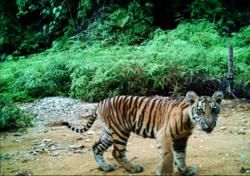 Nowhere to Hide: New Study Finds Human Activities Pushing Sumatran Tigers Closer to Extinction