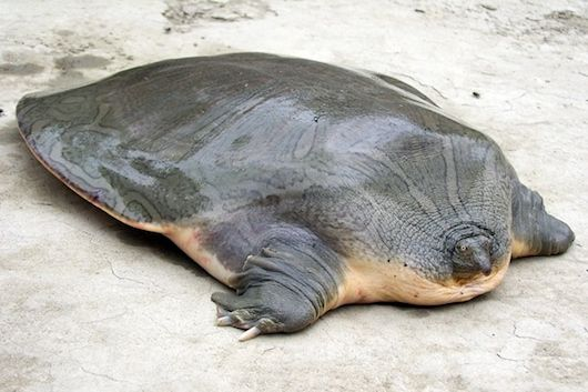 World turtle day... Endangered turtles. Indian narrow-headed softshell turtle