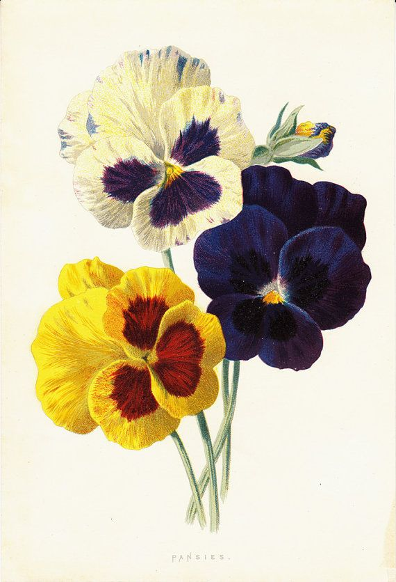 1890 PANSIES Original antique botanical print. Pansy, Fine old lithograph