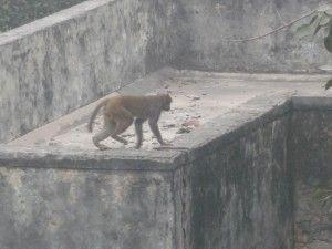 singe en inde à new delhi