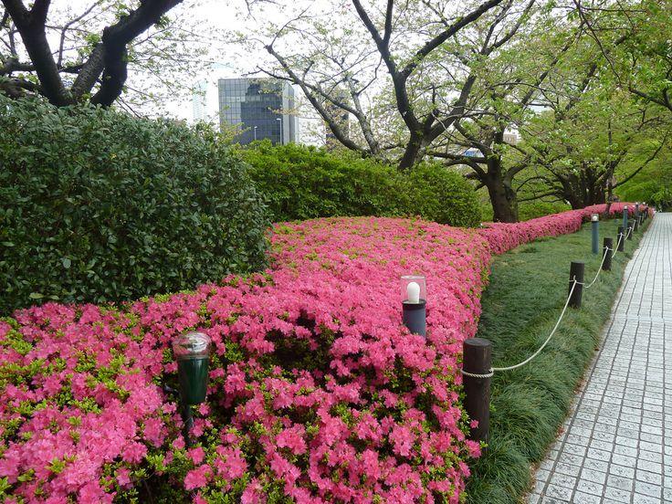 Azalea hedge at the Akasaka Grand Prince