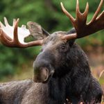 This holiday, you can contribute to the protection of moose habitat, simply by giving the gift of nature! #GiveNature