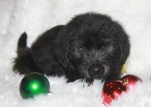 Eve the GoldenDoodle is an adoptable Golden Retriever Dog in Abilene, TX.  My name is Eve and I am a Golden Retriever-Standard Poodle mix puppy! A Golden 'DOODLE' puppy! Learn more about this breed...