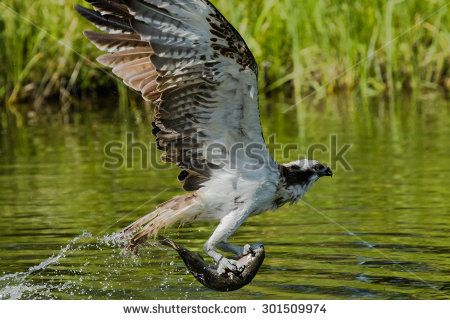 Osprey flying with a fish caught from a lake - stock photo