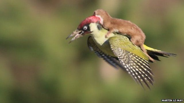 """The amateur photographer who took a picture of a weasel on the back of a woodpecker mid-flight says it is """"almost a dream""""."""