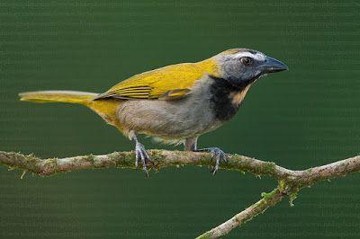 Trinca ferro_saltator maximus_Brazilian Birds