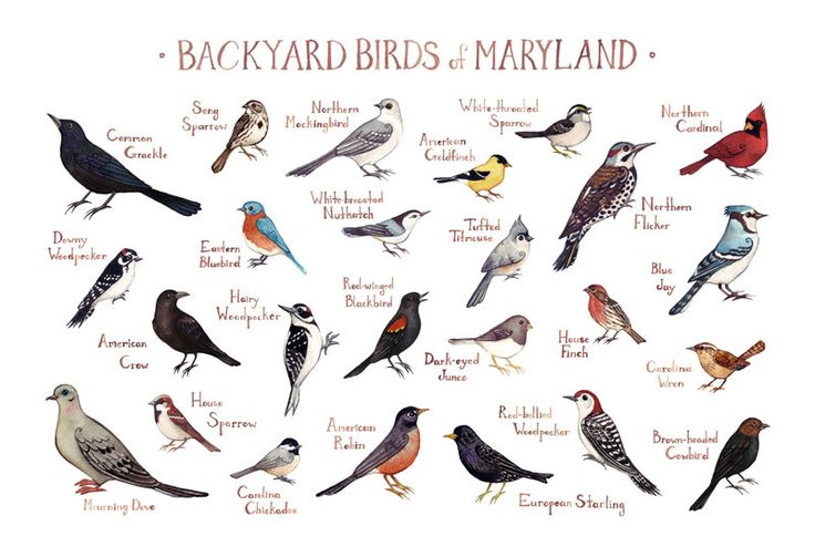 Maryland Backyard Birds Field Guide Art Print / Watercolor Painting / Wall Art / Nature Print / Bird Poster by KateDolamore on Etsy https://www.etsy.com/listing/229923952/maryland-backyard-birds-field-guide-art