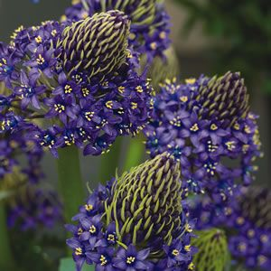 Scilla peruviana  Cuban Lilies have sapphire blue star-shaped blossom clusters on a single stem that rise above the broad dark green foliage. Each bulb may produce several stems, producing a stunning display. Prefers full sun to part shade position, ideal as a cut ...