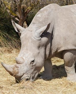Poachers Kill Six Rhinoceroses in One Night in Wildlife Reserve in South Africa - Hluhluwe–Imfolozi Park rangers found all six with their horns cut off. http://www.news24.com/SouthAfrica/News/6-rhino-killed-in-just-one-night-in-kwazulu-natal-reserve-20170704