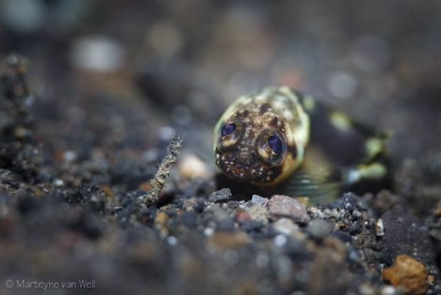 If Jawfish could talk what would this juvenile be saying to you?  The photographer, Marteyne Van Well captured this little cutie during our 3rd annual #CapturingCrittersInLembeh.   #diving #lembeh #underwaterphotography