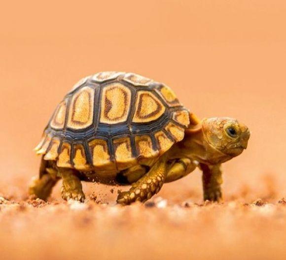 Baby Tortoise By Lady Bothma
