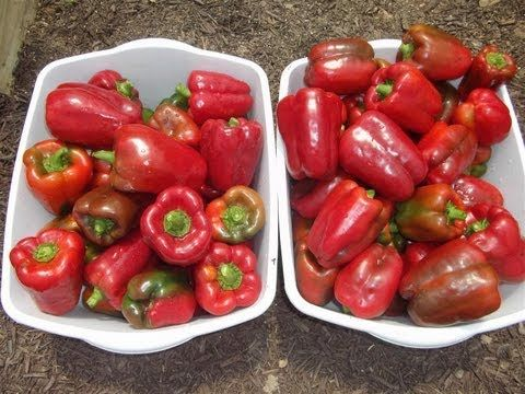 Organic Peppers & Insects - Whiteflies Don't Like Them - YouTube