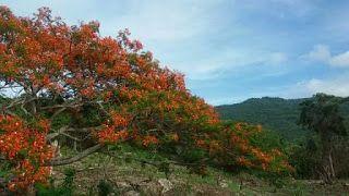 Argonaut: Bunga desember, pohon natalnya penduduk Maumere