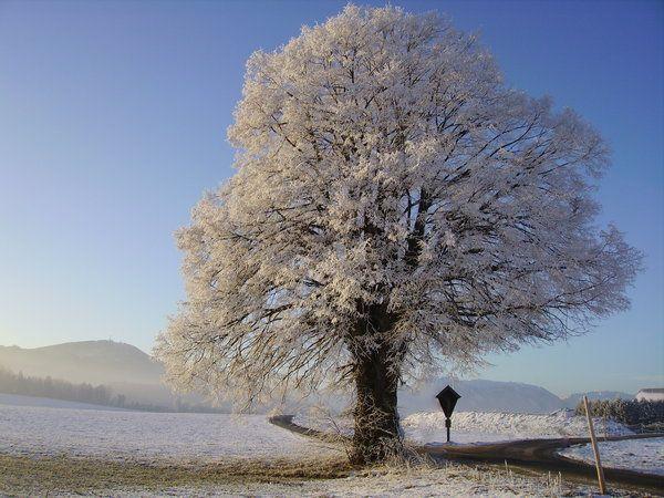 Lindenbaum winter