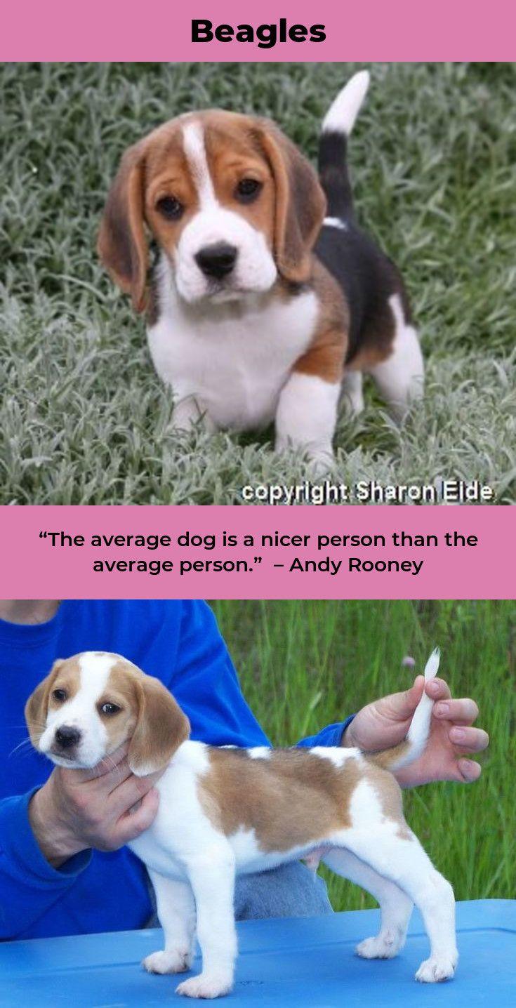 Beagle Puppies Beagleofinstagram Beagles Puppy Beagle Puppy