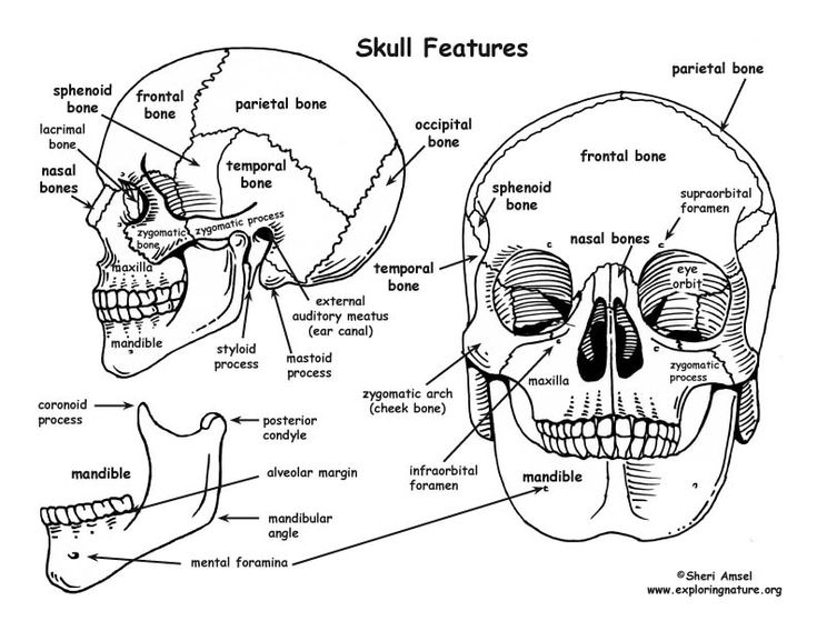 Anatomy Coloring Pages Skull Apigramcom