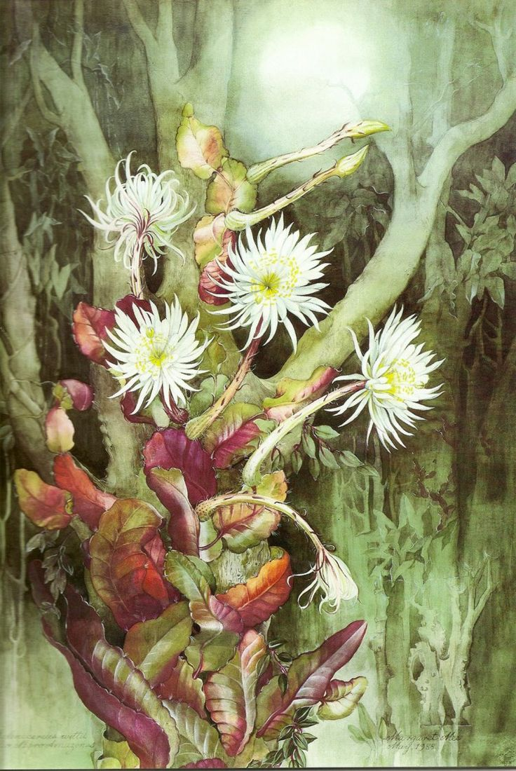A ilustração da Flor da Lua por Margaret Mee (1988)