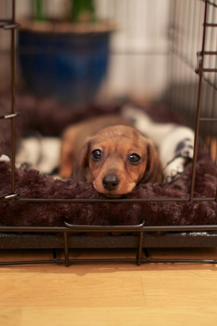 Nothing sweeter than a baby mini doxie