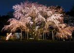 六義園 しだれ桜と大名庭園のライトアップ(2014)