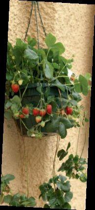 jordgubbar-balkong_89336920.jpg (194×428)
