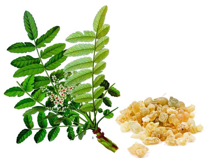 Boswellia serrata - pradávná rostlina pro neduhy současné doby - 6minutovka