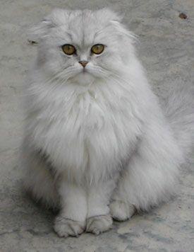 Fotogallery: Scottish Fold, il gatto dalle orecchie pendenti - #scottish - More Scottish Fold Cat Breeds at Catsincare.com!