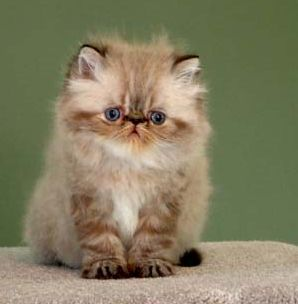 A Himalayan kitten. I'm allergic to cats, but I'd take this one lol. Too cute!
