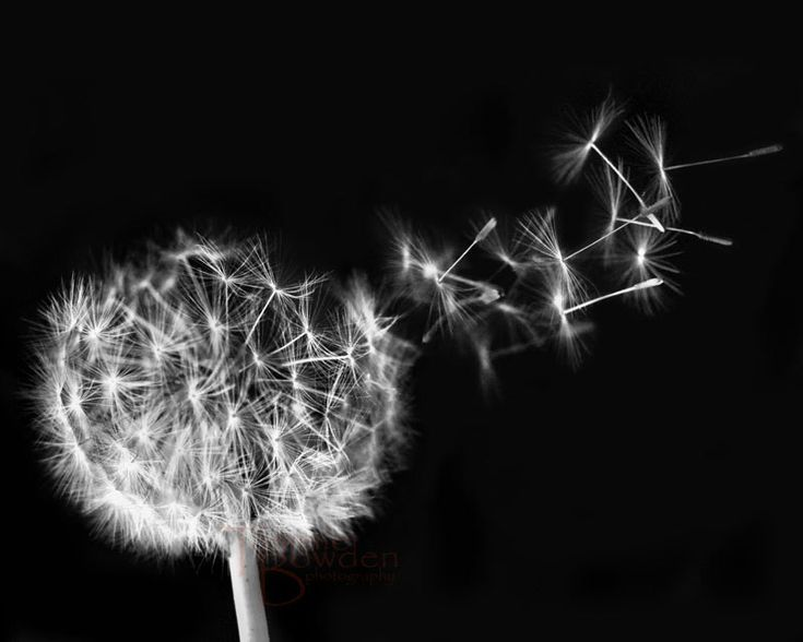 Dandelion Blowing Black And White Seeds