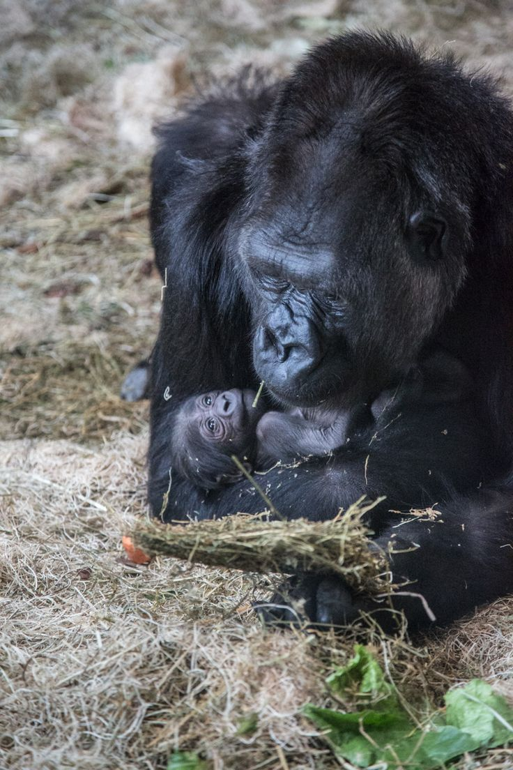 Lincoln Park Zoo Second New Gorilla Baby