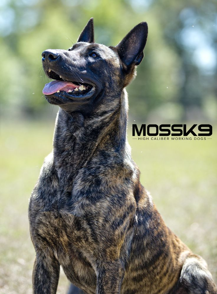KNPV Dutch Shepherd Belgian Malinois Working Dog Moss K9