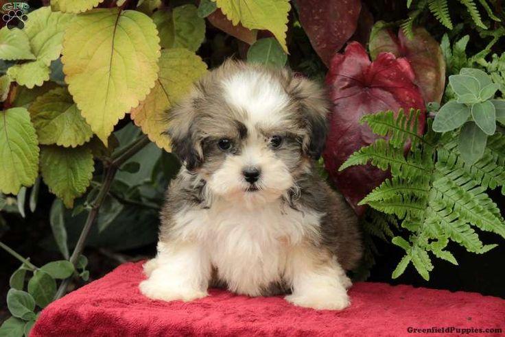 Daisy, Shichon / Teddy Bear Puppy