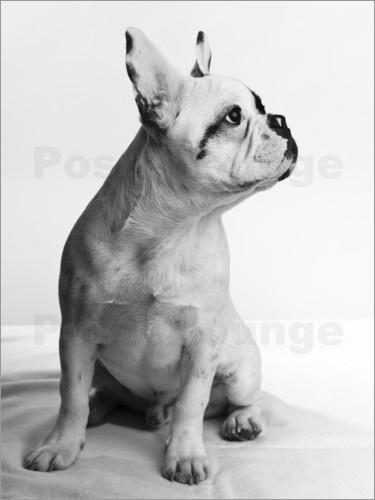 Französische Bulldogge - sehr fotogener Rüde mit dem gewissen Etwas