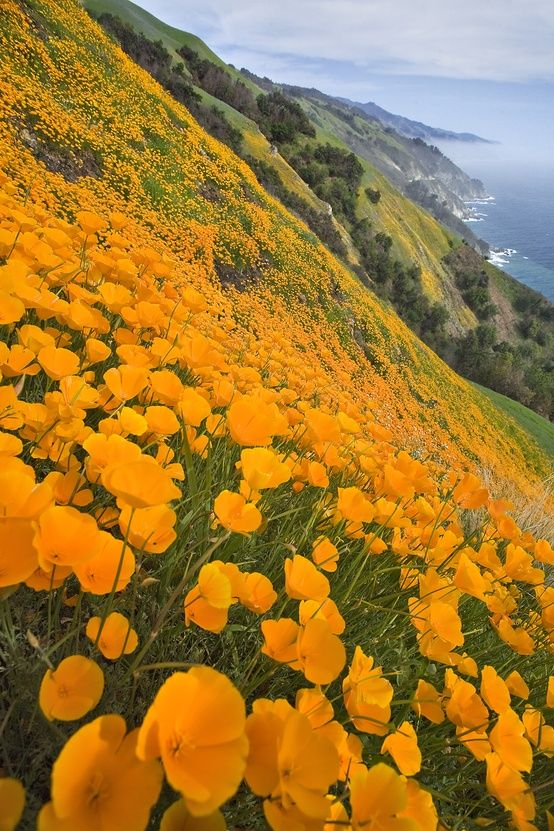 ✯ Big Sur Spring - more of a wildflower cliffside than a meadow … Californian poppies by the look of them.