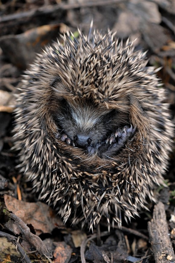 If you're lucky enough to be hosting a hedgehog's hibernation in your garden this winter, take care not to disturb the little guys until they're ready to wake up #homesfornature
